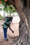 tree AW